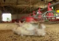폭염으로 가축 떼죽음…보험 가입 불구 피해 보상 막막