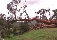 6.25때도 버텼는데…600년된 왕소나무, 뿌리채 뽑혔다