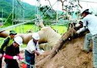 [영상구성] 일어나라! 600살 왕소나무여