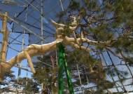 '볼라벤'에 쓰러졌던 600년 소나무, 이번엔 한파와 사투