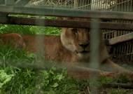 '갑자기 맹수로 돌변'…사자 습격에 동물원 직원 사망