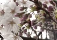 제주는 벌써 설레는 벚꽃 세상…평년보다 일주일 빨라