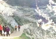 섬진강변의 화사한 꽃잔치…'진한 매화향에 취하다'
