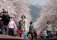 연분홍 벚꽃터널 '환상'…진해는 지금 울긋불긋 꽃 대궐