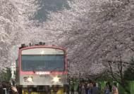 진해 군항제 개막 D-1, 연분홍 벚꽃의 향연 펼쳐져