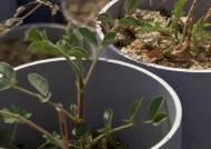 '약방의 감초' 재배기술 개발…국산화의 길 열렸다