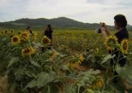 폭염·장마 뚫고 간척지에 핀 해바리기 밭…명소로 뜬다