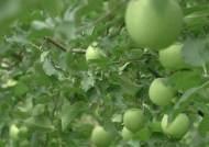 '추석 대목에 맞췄는데' 발육 저조…수확 포기하는 농가들