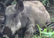 150Kg 멧돼지, 포천시내 종횡무진…행인 5명 중경상