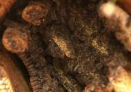 토종벌이 사라진다…악성 전염병으로 멸종 위기
