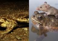 두꺼비 등에 올라탄 생쥐에 이어 두꺼비 짝짓기도 눈길