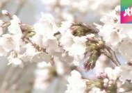 3월에 핀 서울 벚꽃…1922년 관측 시작 이후 처음