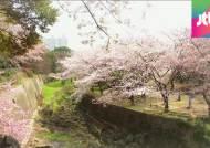 빨리 핀 벚꽃에 지자체 축제 비상…윤중로는 내달 3일부터