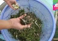 [4대강 그 후] 큰빗이끼벌레 남한강 장악…다슬기 급감