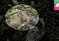 큰빗이끼벌레가 장악한 남한강…다슬기 폐사 일어나