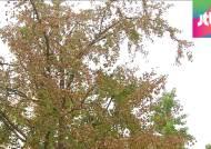 8월에 은행나무 단풍?…가뭄-무더위에 '황화현상'
