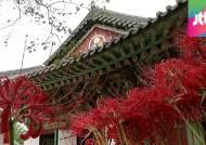 불갑산에 만개한 선홍빛 '꽃무릇'…황홀한 가을 선사