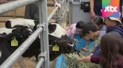 도심에 등장한 젖소…우유 재고 늘자 축산농가 '한숨'