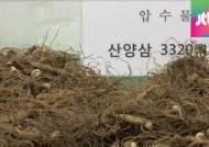 중국산 산양삼, 국산 둔갑…사용 금지된 살충제 범벅