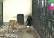 [밀착카메라] 맹수 잡는 '죽음의 동물원'…관리 부실