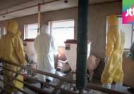 용인 어미돼지 구제역 확진…안성 소 농장서도 발생