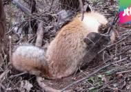 농약 먹고 죽고, 덫에 걸려 죽고…토종 여우의 비극