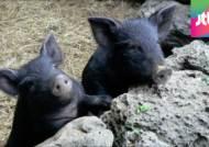 [뉴스브리핑] '순수혈통' 제주 흑돼지, 천연기념물 지정