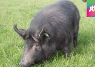 '제주 흑돼지' 천연기념물 지정…260여 마리만 대상