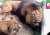 혼자 근무하다…어린이대공원 사육사, 사자에 물려 사망