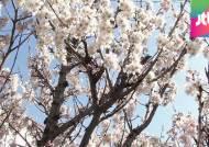 올해 벚꽃 사나흘 빨리 핀다…서울은 4월 9일쯤 개화