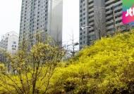봄 소식 알리는 개나리, 제주 서귀포서 꽃망울 터트려