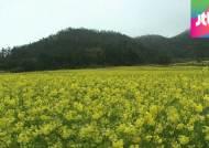 성큼 다가온 봄, 유채꽃 핀 관매도…수도권은 내달 만개