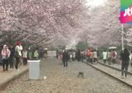 '빗속 밤 벚꽃' 진해군항제 전야제…이번 주말 '절정'