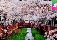 해군과 벚꽃의 만남…봄 장식할 '진해군항제' 개막