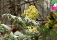 4월의 강원 '봄꽃 위 눈꽃'…밤사이 1cm 안팎 눈 예상