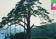 13세 과천과학관 소나무, 600세 정이품송 친자 맞다