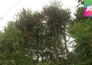 '남산 위 저 소나무' 덮친 재선충병…당국도 바짝 긴장