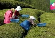 녹차 새순에 드리워진 '그림자'…농사 포기 농가 급증