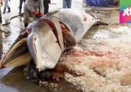 '바다의 로또' 밍크고래, 작살에 수난…불법포획 계속