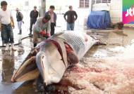 '바다의 로또' 밍크고래 작살 수난…불법포획 횡행