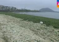 제주 해안가 '파래의 습격'…악취에 환경오염 '몸살'
