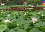 무안, 더위도 쉬어가는 연꽃의 향연…이번 달 절정