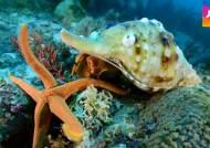 바다 생태계 망치는 불가사리, 유일한 천적은 나팔고둥