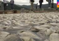 다시 찾아온 '붉은 바다'…하루 새 수십만 마리 '폐사'