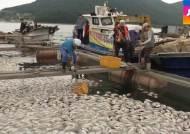 다시 찾아온 '붉은 바다'…거제 양식장서 집단 폐사