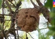 벌초·산행 때 조심하세요! 공포의 살인 벌 피하려면…