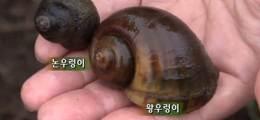 친환경농법 주역→환경 파괴자 30여년만에 처지 바뀐 왕우렁이