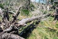 한라산 크리스마스 나무의 죽음···기후재앙 충격장면